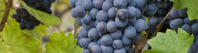 Лучший сорт винограда для сухого вин